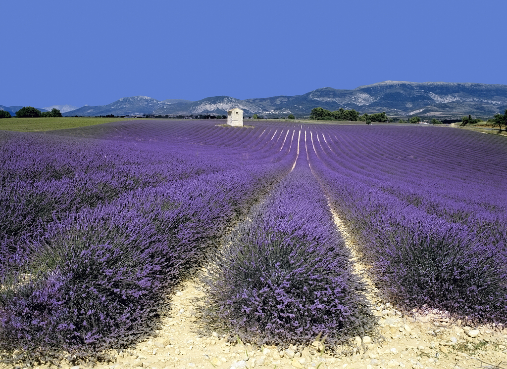 dreamstime_1591690-Lavender fields provence