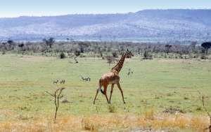Žirafa v NR Masai Mara