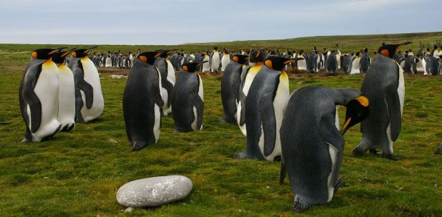 Falkland Islands Penguins 07