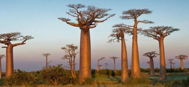 baoba madagascar