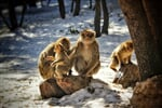 monkey family , Taken in Ifran, Morocco_shutterstock_699674677
