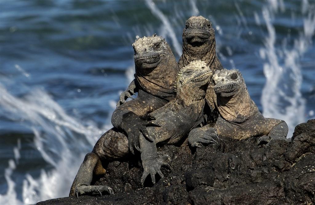 15109-Marine Iguanas