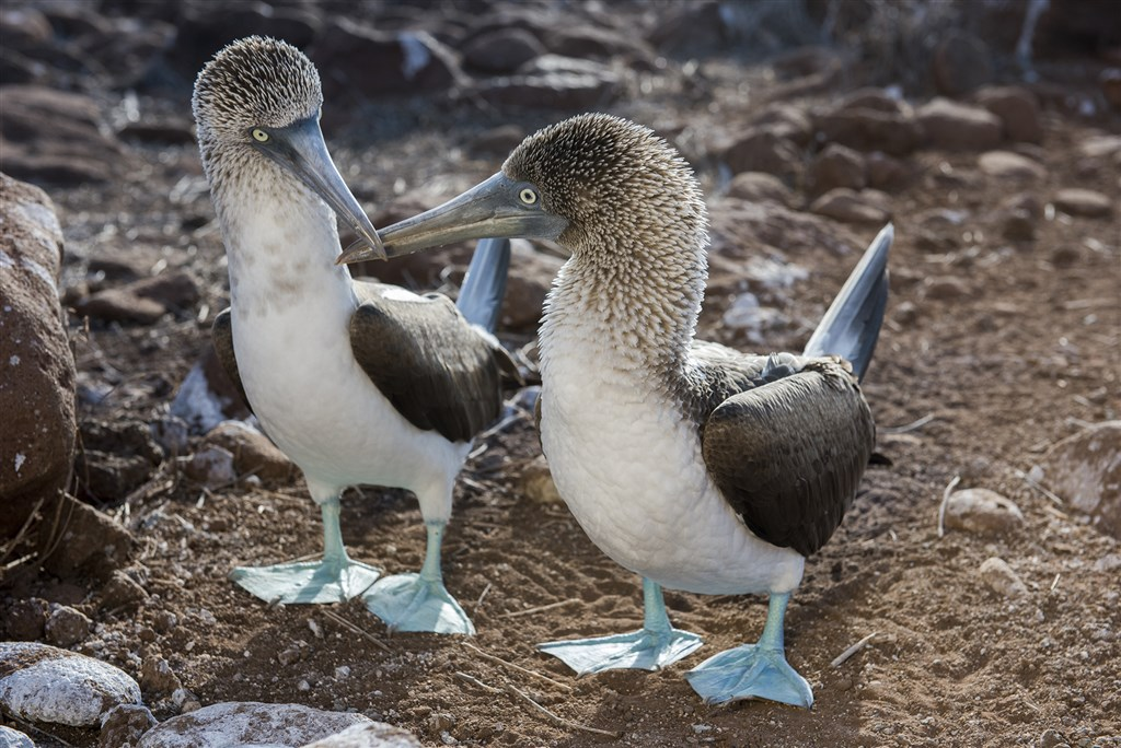 20160615_Blue-footed_Booby_Pair_508