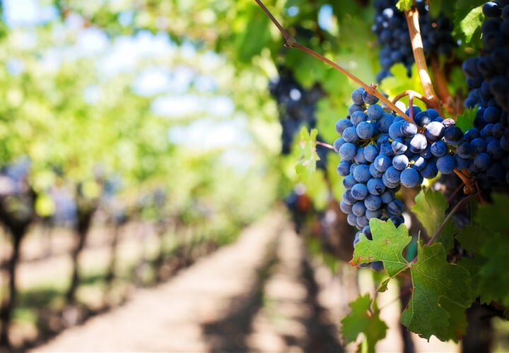 Vinobraní a svátky vína