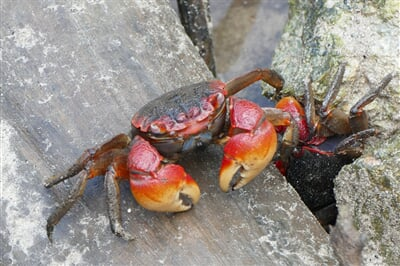 Krab v tropických mořích