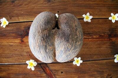Kokosový ořech z palmy Coco de Mer ze souostroví Seychely