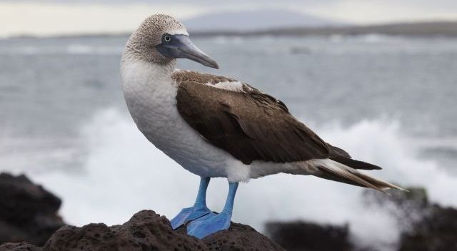blue footed booby galapagos terej modronohý