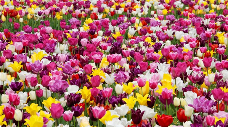 tulips, flowers, tulip field