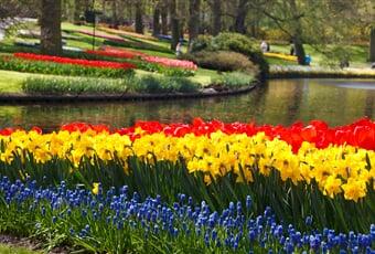 tulips, tulip, daffodils