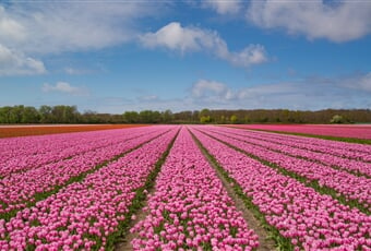 pink, tulip, bulb